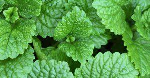10 نمونه از بهترین گیاهان مفید برای کاهش وزن